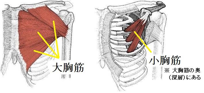 「小胸筋」の画像検索結果