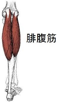 腓腹筋の解剖図