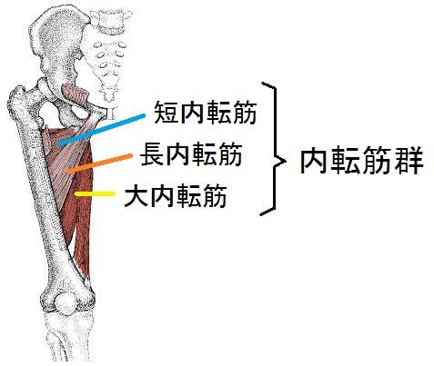 股関節内転筋群の解剖図