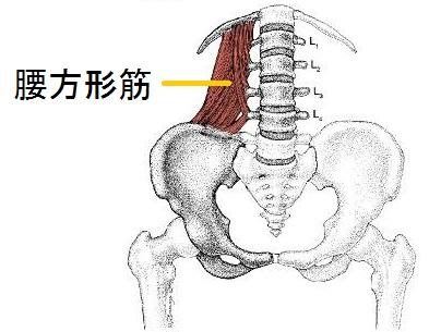 腰方形筋の解剖図