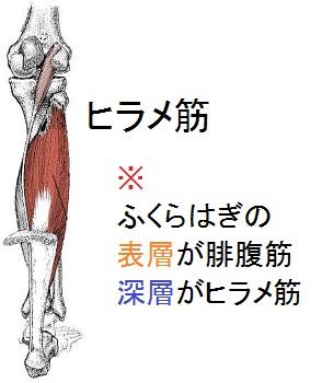 ヒラメ筋の解剖図