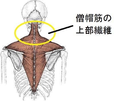 僧帽筋の上部繊維の解剖図