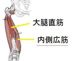 内側広筋の解剖図